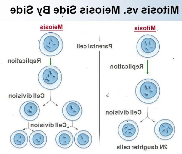 celldelning mitos och meios